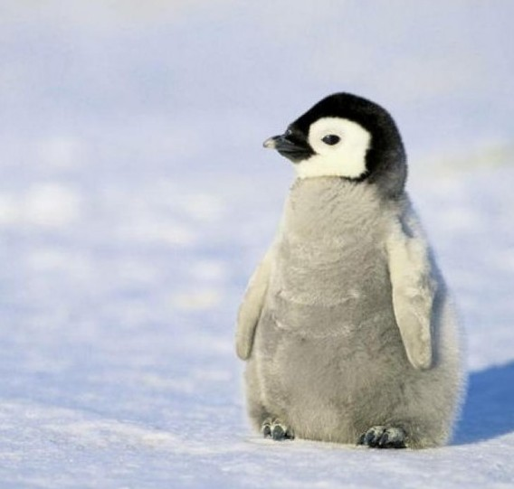 Find more fluffy penguin images at http://pcwallart.com